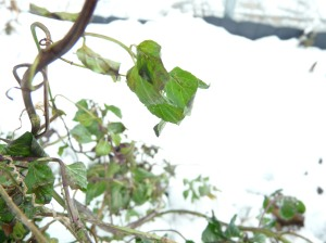 mint in snow
